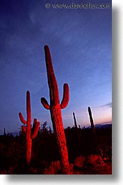 america, arizona, cactus, desert southwest, north america, saguaro, sunsets, tucson, united states, vertical, western usa, photograph