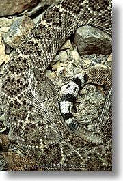 america, arizona, desert museum, desert southwest, diamondback, north america, tucson, united states, vertical, western usa, photograph