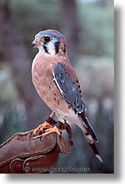america, arizona, desert museum, desert southwest, falcons, north america, tucson, united states, vertical, western usa, photograph