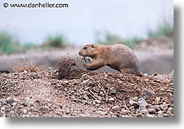 america, arizona, desert southwest, digging, horizontal, north america, prairie dogs, tucson, united states, western usa, photograph