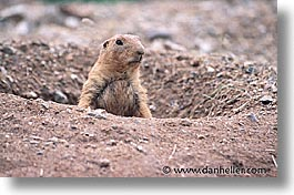 america, arizona, desert southwest, holes, horizontal, north america, prairie dogs, tucson, united states, western usa, photograph