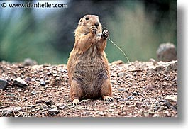 america, arizona, desert southwest, horizontal, north america, prairie dogs, tucson, twig, united states, western usa, photograph