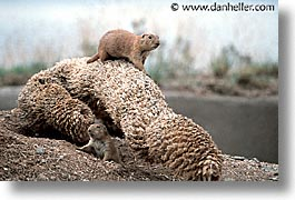 america, arizona, desert southwest, homes, horizontal, north america, prairie dogs, tucson, united states, western usa, photograph