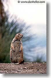 america, arizona, desert southwest, north america, prairie dogs, standing, tucson, united states, vertical, western usa, photograph