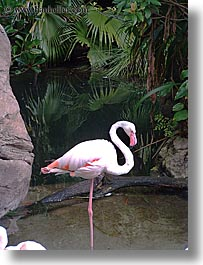 america, animal kingdom, disney, flamingo, florida, north america, orlando, united states, vertical, photograph
