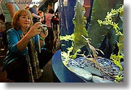 america, aquarium, chicago, horizontal, illinois, north america, photographers, seadragon, tourists, united states, water, weedy, womens, photograph