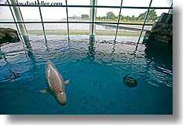america, aquarium, chicago, fish, horizontal, illinois, north america, united states, water, whale, white, photograph