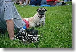 america, blues festival, chicago, dogs, horizontal, illinois, north america, pug, united states, photograph