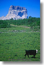 america, chief, chief mountain, cows, glaciers, montana, mountains, national parks, north america, united states, vertical, western united states, western usa, photograph
