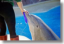 america, animals, casino, dolphins, horizontal, hotels, las vegas, mirage, nevada, north america, the strip, trainer, united states, western usa, photograph