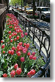 america, new york, new york city, north america, streets, tulips, united states, vertical, photograph