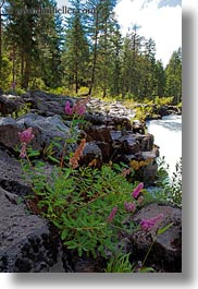 america, flowers, north america, oregon, rocks, rogue gorge, united states, vertical, photograph