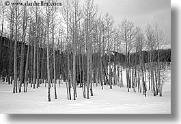 america, aspen trees, aspens, black and white, horizontal, north america, park city, snow, united states, utah, western usa, photograph