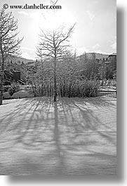 america, aspen trees, aspens, black and white, north america, park city, snow, united states, utah, vertical, western usa, photograph