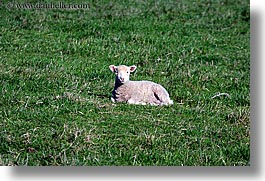orcas island, lamb, lounging, washington, united states, photograph
