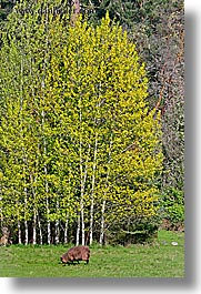aspens, orcas island, lamb, yellow, washington, united states, photograph