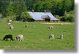 orcas island, barn, sheep, washington, united states, photograph