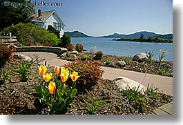 orcas island, tulips, ocean, yellow, washington, united states, photograph