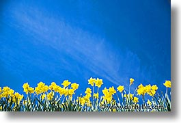 america, daffodills, flowers, horizontal, north america, pacific northwest, port angeles, united states, washington, western usa, photograph