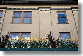 america, daffodils, dafodils, flowers, horizontal, nature, north america, pacific northwest, pike place, seattle, united states, washington, western usa, windows, photograph