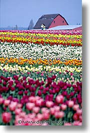 america, flowers, north america, pacific northwest, tulips, united states, vertical, washington, western usa, photograph