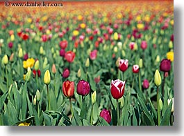 america, colored, flowers, horizontal, multi, nature, north america, pacific northwest, tulips, united states, washington, western usa, photograph