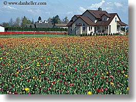 america, buildings, colored, flowers, horizontal, houses, multi, nature, north america, pacific northwest, structures, tulips, united states, washington, western usa, photograph