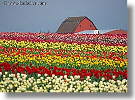 america, barn, buildings, colored, flowers, horizontal, multi, nature, north america, pacific northwest, structures, tulips, united states, washington, western usa, photograph