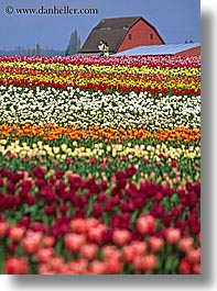 america, barn, buildings, colored, flowers, multi, nature, north america, pacific northwest, structures, tulips, united states, vertical, washington, western usa, photograph