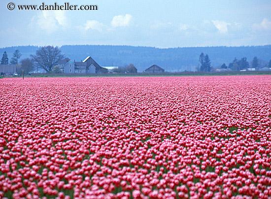 http://www.danheller.com/images/UnitedStates/Washington/Tulips/pink-tulips-big.jpg