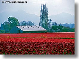 america, barn, buildings, flowers, horizontal, nature, north america, pacific northwest, pink, structures, tulips, united states, washington, western usa, photograph