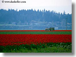 america, flowers, horizontal, nature, north america, pacific northwest, red, tractor, tulips, united states, washington, western usa, photograph