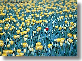 america, flowers, horizontal, nature, north america, one, pacific northwest, red, tulips, united states, washington, western usa, yellow, photograph