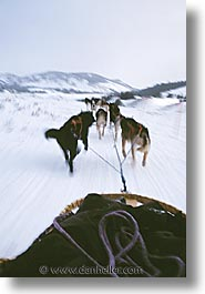 america, dog sled, dogs, jackson hole, mush, north america, snow, united states, vertical, winter, wyoming, photograph