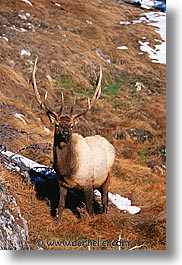 america, animals, elk, north america, snow, united states, vertical, winter, wyoming, yellowstone, photograph