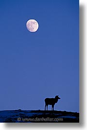 america, animals, elk, moon, north america, snow, united states, vertical, winter, wyoming, yellowstone, photograph