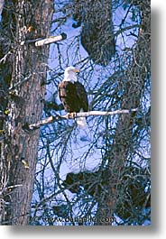 america, animals, bald, birds, eagles, north america, snow, united states, vertical, winter, wyoming, yellowstone, photograph