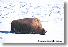 america, animals, bison, horizontal, north america, snow, united states, winter, wyoming, yellowstone, photograph