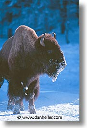 america, animals, bison, north america, snow, united states, vertical, winter, wyoming, yellowstone, photograph