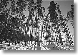 america, black and white, horizontal, north america, snow, trees, united states, winter, wyoming, yellowstone, photograph