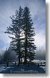 america, north america, snow, trees, united states, vertical, winter, wyoming, yellowstone, photograph
